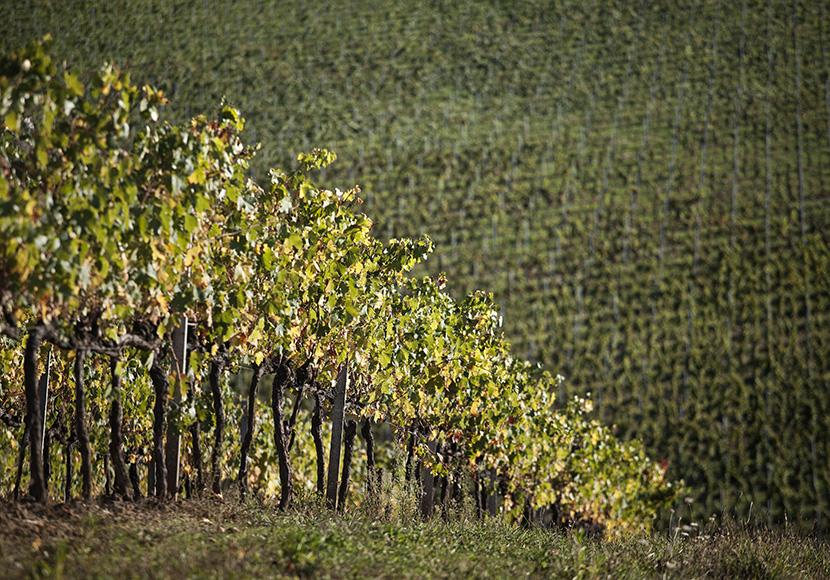 vigna_vino_nobile