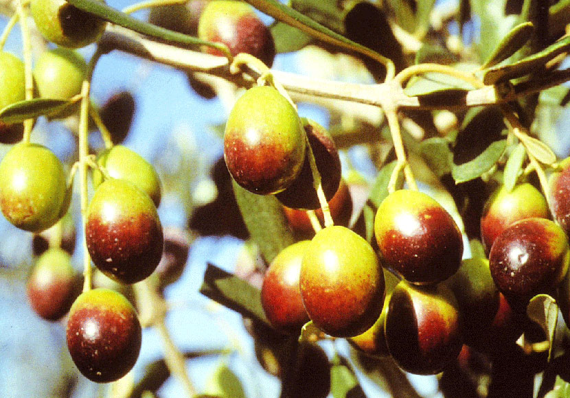 Frantoio-cultivar
